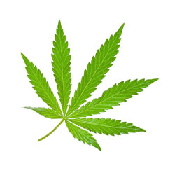 marijuana-leaf-250w.jpg
